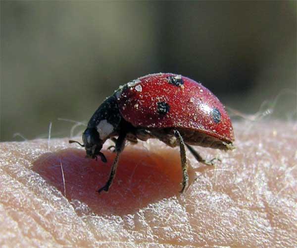 ein Marienkäfer